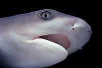 face detail of whitetip reef shark, Triaenodon obesus, foraging reef, Cocos Island, Costa Rica, Pacific Ocean