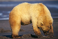 Grizzly Bear opening a razor clam it has dug up on an Alaskan Peninsula beach, Katmai National Park.