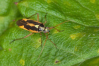 Zweifleck-Weichwanze, Männchen, Zweifleckweichwanze, Weichwanze, Stenotus binotatus, Twospotted grass bug, Two-spotted grass bug, 2-spotted grass bug, Weichwanzen, Blindwanzen, Miridae, mirids, capsid bugs, plant bugs, Mirid Bug, Plant Bug