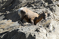 Big horn sheep high in the cliffs in Jasper National Park.
