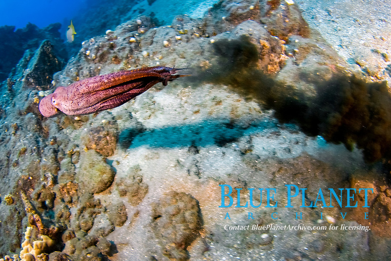 Day octopus, Octopus cyanea, squirting ink to escape predator. Maui, Hawaii, USA, Pacific Ocean