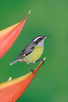 Bananaquit, Coereba flaveola, adult on Heliconia Flower, Central Valley, Costa Rica, Central America, December 2006