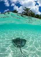 Southern Stingray Split Level<br /> Hawksnest Beach<br /> Virgin Islands National Park<br /> St. John<br /> US Virgin Islands