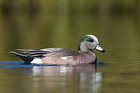 American Wigeon (Mareca americana). Washington County, Oregon. March.