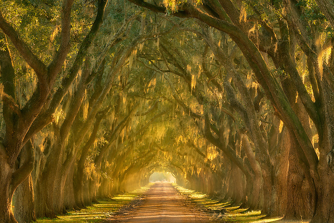 Beautiful late afternoon light illuminates this oak lined alley along the Mississippi River outside New Orleans, Louisiana.