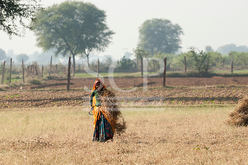 Sawai Madhopur, Rajasthan, India.  Smiling young woman in colourful clothes harvesting crops with a sickle.