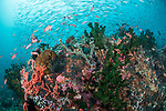 Verde Island, Oriental Mindoro, Philippines; scalefin anthias fish and a school of fusiliers swimming over black sun corals and sponges on the reef