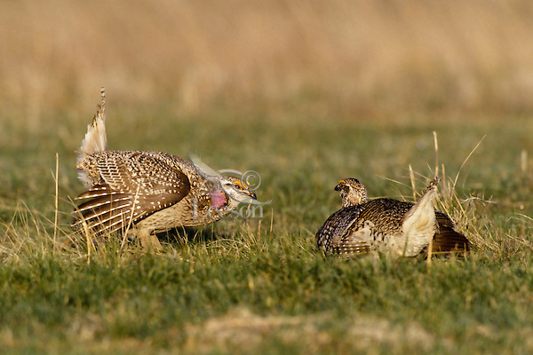 Strutting male sharp-tailed grouse (Tympanuchus phasianellus), Northern Plains, U.S.A., Spring mating display.