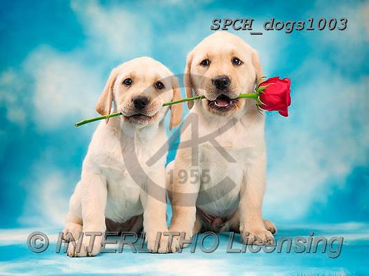 Xavier, ANIMALS, REALISTISCHE TIERE, ANIMALES REALISTICOS, dogs, photos+++++,SPCHDOGS1003,#A#, EVERYDAY