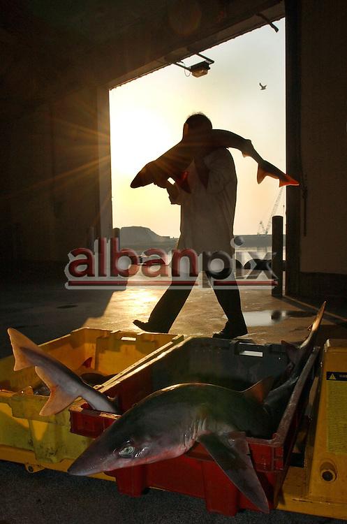 Trevor Page loads sharks into a palette on the dockside in Lowestoft, Suffolk.