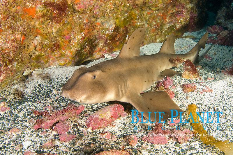 Horn Shark, Heterodontus francisci, San Benito Island, Baja California, Mexico