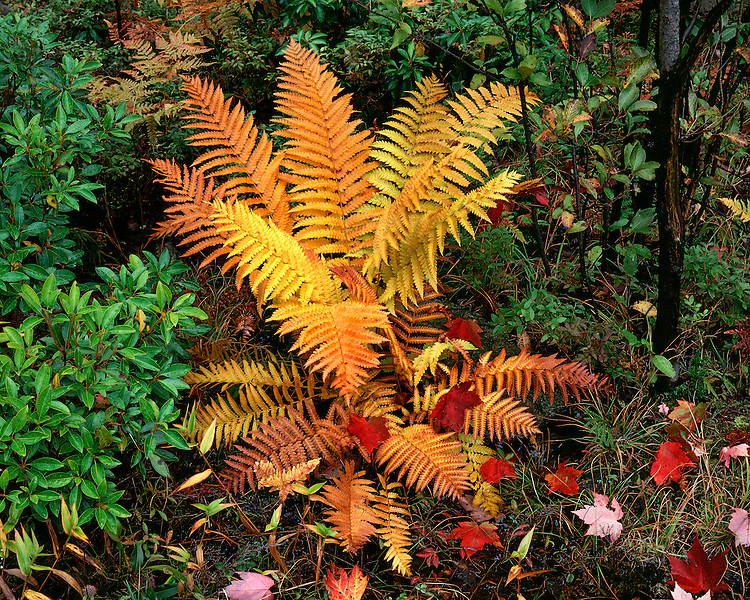 Fern in fall color; Blackwater Falls State Park, WV