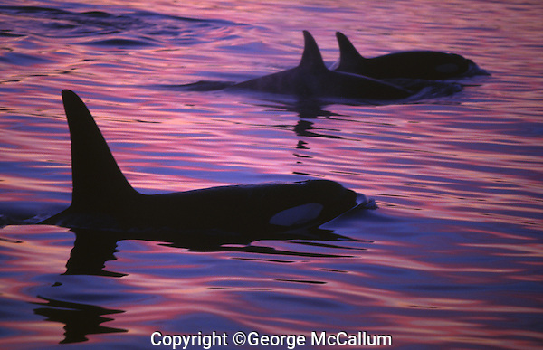 Killer whales, Orcinus orca, group surfacing at dusk, Tysjord, Arctic Norway, North Atlantic