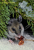 MU12-140z   Deer Mouse - eating berries - Peromyscus maniculatus