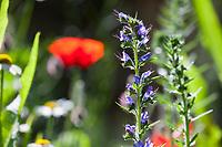 Unser Naturgarten in Hammer, Garten, insektenfreundlicher Garten, vogelfreundlicher Garten, blütenreich, Wildblumen, Wildblumengarten, Mohn, Klatschmohn, Papaver