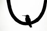 White-necked Jacobin (Florisuga mellivora) hummingbird silhouetted on vine, Panama Rainforest Discovery Center, Gamboa, Panama
