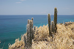 Cactus on the south east coast of cuba nearby san antonio del Sur (guantanamo province)