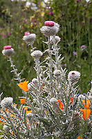 Gray foliage Cobweb Thistle, Cirsium occidentale flowering in garden with California native plants, Torgovitsky