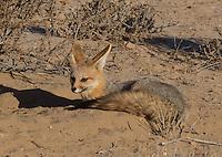 Cape Fox in the Kalahari region of South Africa