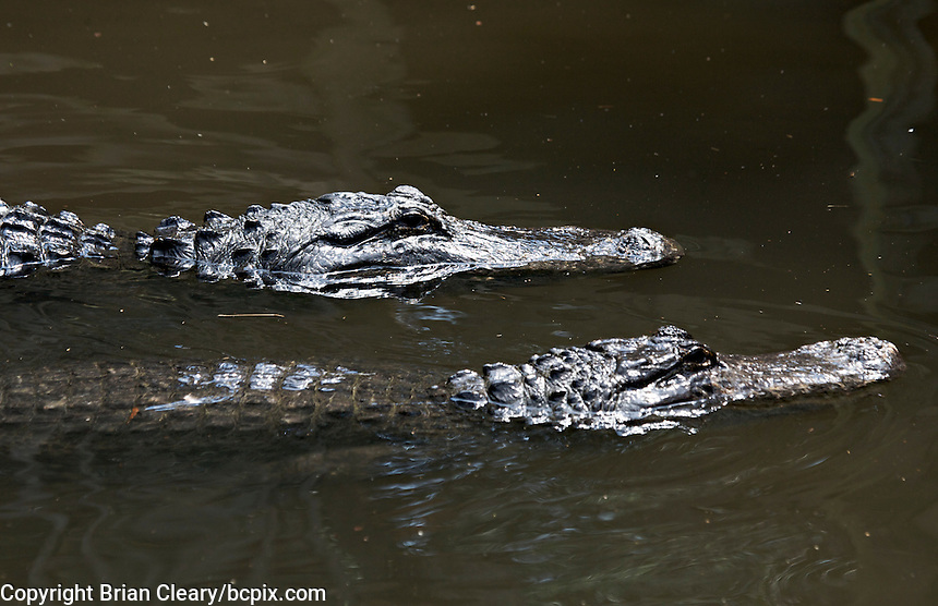 Alligator swims in water,St. Augustine Alligator farm, St. Augustine, FL on March 20, 2006. (Photo by Brian Cleary/www.bcpix.com),