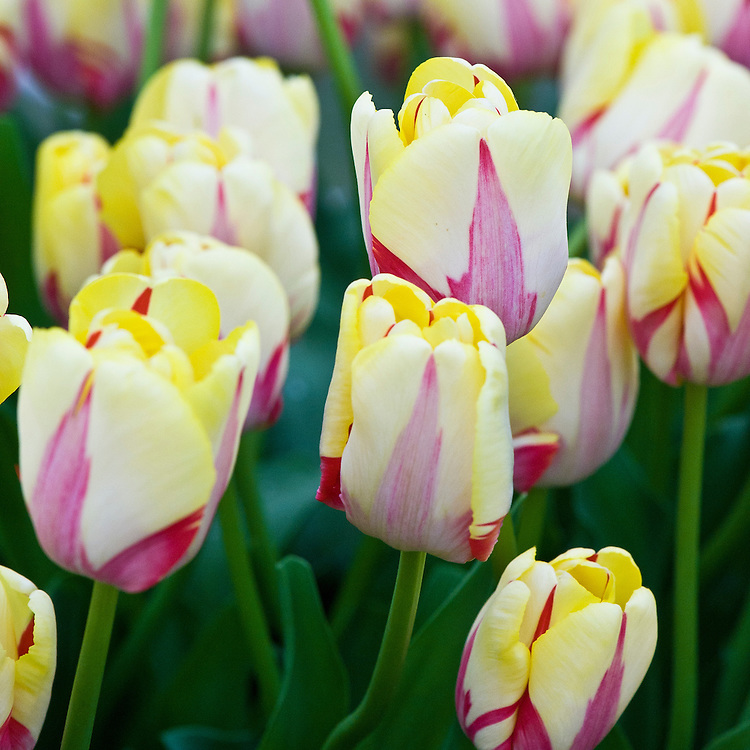 Tulip 'World Expression' (Single Late Group), mid May. Red flames stand out on a creamy-yellow flower displaying a unique, eye-catching color combination.  Yellow gradually turns pure white as the bloom matures. Huge, 6in (15cm) blooms when fully open on long, strong stems.
