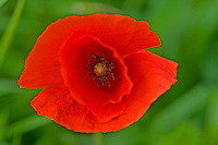 Klatsch-Mohn, Klatschmohn, Mohnblume, Klatschrose, Mohn, Papaver rhoeas, Corn Poppy, Field Poppy, common poppy, corn rose, Flanders poppy, red poppy, Le coquelicot