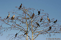 0111-0970  Flock of Double-Crested Cormorants Perched in Tree, Phalacrocorax auritus  © David Kuhn/Dwight Kuhn Photography