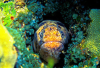 A moray eel peeps his head out from a gap in the coral.