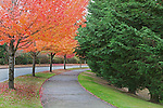 Sidewalk under blazing all color, makes large curve to right with cedar trees lining one side,  red maple on the other.