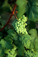 Close up of grapes in Vineyards and near Skopje Macedonia