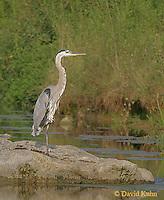 0812-06yy  Great Blue Heron - Ardea herodias © David Kuhn/Dwight Kuhn Photography
