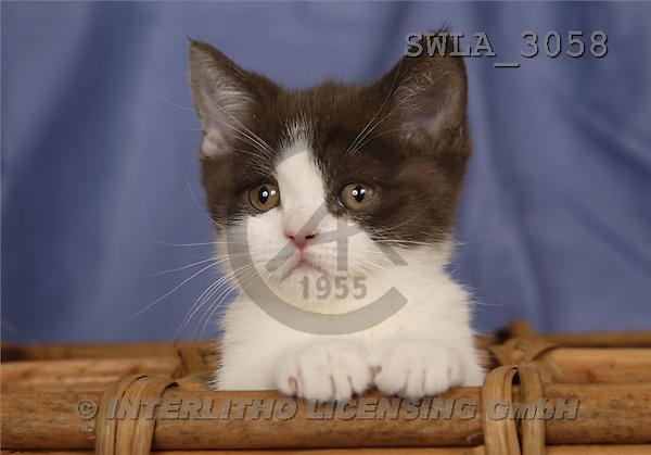 Carl, ANIMALS, photos, blue white kitten(SWLA3058,#A#) Katzen, gatos