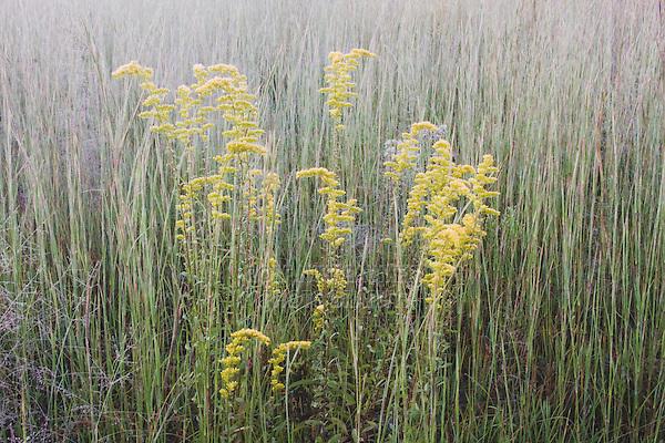 Tall Goldenrod (Solidago altissima) and Broomsedge Bluestem (Andropogon virginicus), frost coverd, Raleigh, North Carolina, USA
