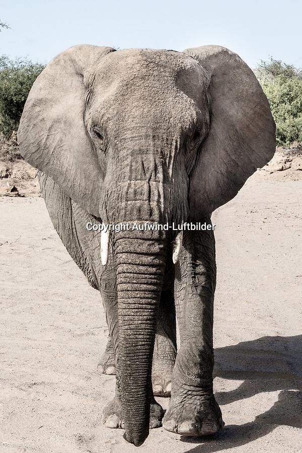 Wüstenelefant: NAMIBIA, AFRIKA, 09.12.2019: Wüstenelefant im Huab Riber