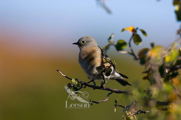 Female western bluebird or immature western bluebird.  Western U.S., fall.