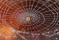 A brown and tan orb weaver spider stands on its dew covered web in front of an orange background.