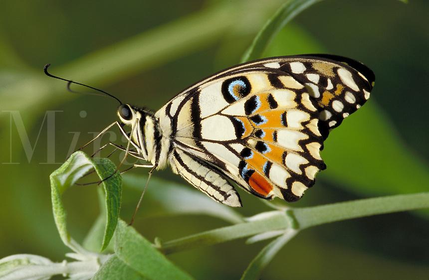 PAPILIO DEMOLEUS, Checkered Swallowtail Butterfly                             subfamily - Papilioninae;  family - Papilionidae; order - Lepidoptera;      class - Insecta;    phyllum - Arthropoda;     kingdom - A nimalia. NEW ORLEANS LOUISIANA USA AUDUBO