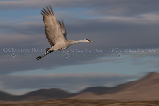 Sandhill Crane (Grus canadensis) blurred in motion flying near sunset at Bosque del Apache National Wildlife Refuge, San Antonio, New Mexico
