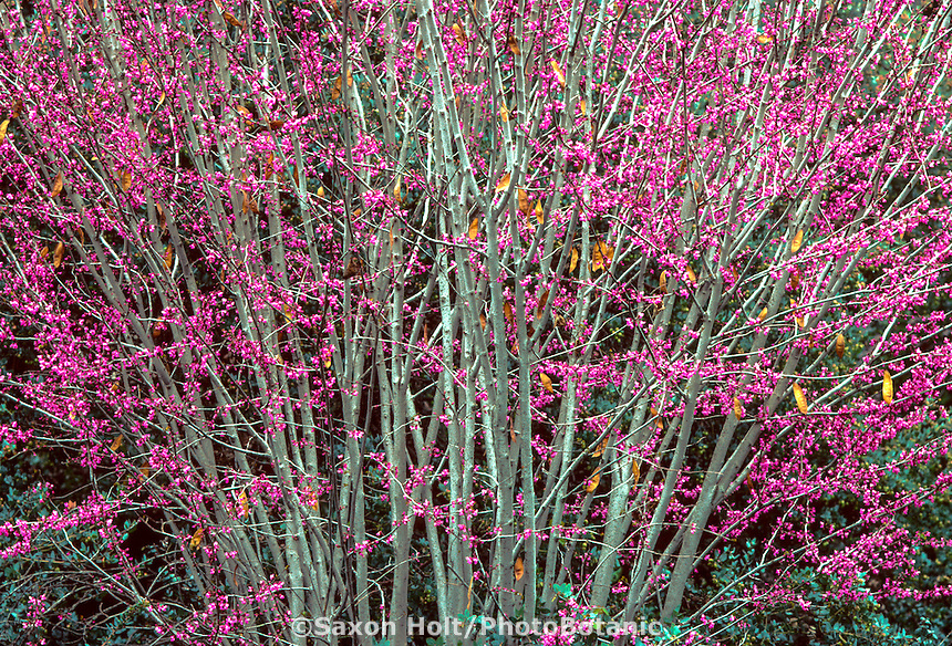Cercis occidentalis-Flowering Western Redbud tree, California native plant