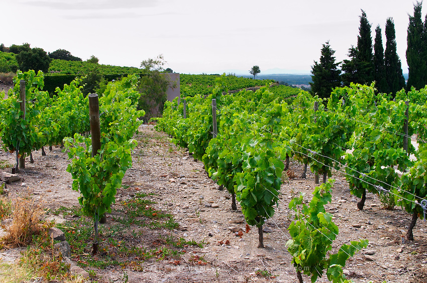 Domaine la Tour Vieille. Collioure. Roussillon. Vine leaves. Terroir soil. The vineyard. France. Europe. Vineyard. Soil with stones rocks. Schist slate soil.