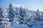 Idaho, Dalton Gardens. Coeur d' Alene. Young fir trees blanketed by a fresh December snowfall.