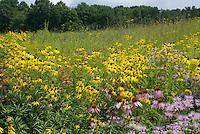 "Tallgrass prairie cross-section in full bloom, dominated by Yellow and Purple Coneflower (Ratibida pinnata & Echnicaea purpurea), Wild Bergamot (Monarda fistulosa), Royal Catchfly (Silene regia), Early Sunflower (Heliopsis helainthoides), and Big Bluestem (Andropogon Gerardi - tall grass with ""turkey foot"" inflorescence). Prairie Dock and various sunflower and grass species starting to bloom in background."