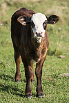 Brazoria County, Damon, Texas; a brown and white spotted newborn calf standing in a pasture in early morning sunlight