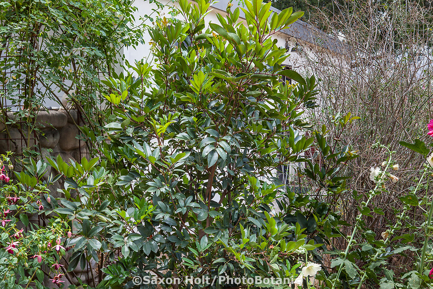 Cunonia capensis, butterspoon tree in Southern California garden