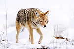 Adult coyote (Canis latrans) walking through winter snow. Yellowstone National Park, Wyoming, USA. January.