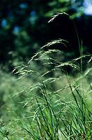 Wald-Zwenke, Waldzwenke, Wald-Fiederzwenke, Brachypodium sylvaticum, Brachypodium silvaticum, Bromus sylvaticus, false-brome, slender false brome, wood false brome, le Brachypode des bois