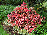 BLOODLEAF, IRESINE HERBSTII AT HUNTINGTON GARDENS
