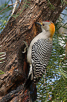 Adult male Golden-fronted Woodpecker (Melanerpes aurifrons) on a Honey Mesquite (Prosopis glandulosa) tree. Lower Rio Grande Valley, Texas, USA.