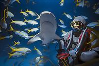 Shark handler feeds Caribbean Reef Shark (Carcharhinus perezii), Bahamas - Caribbean Sea.