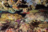 two ornate or banded wobbegong or carpet sharks, Orectolobus ornatus, rest face-to-face under a ledge, Shag Rock, N. Stradbroke sland, near Brisbane, Queensland, Australia